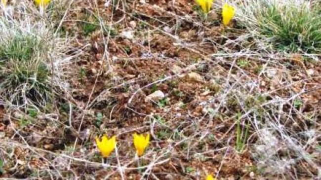 Çiğdem Açtı Bahar Geldi